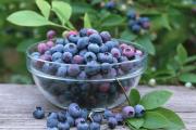 Фото 9 Ягода ирга: все секреты посадки, ухода и размножения «винной ягоды»