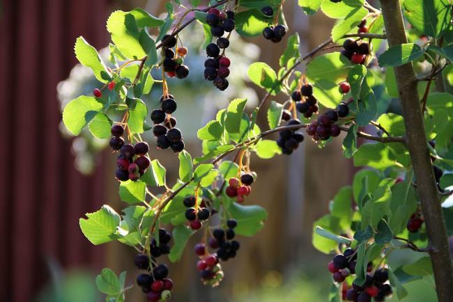 Выращивать винную ягоду не составит особых проблем