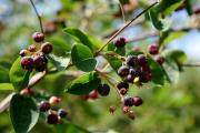Фото 10 Ягода ирга: все секреты посадки, ухода и размножения «винной ягоды»