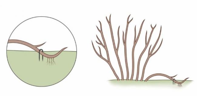Размножение с помощью отводков
