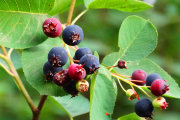 Фото 11 Ягода ирга: все секреты посадки, ухода и размножения «винной ягоды»