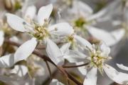 Фото 12 Ягода ирга: все секреты посадки, ухода и размножения «винной ягоды»