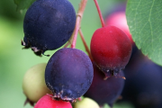 Фото 13 Ягода ирга: все секреты посадки, ухода и размножения «винной ягоды»