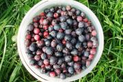 Фото 14 Ягода ирга: все секреты посадки, ухода и размножения «винной ягоды»