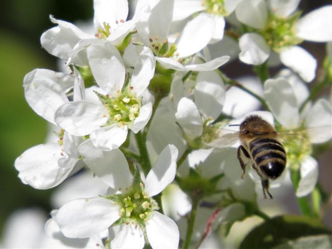 Цветы коринки имеют красивый белоснежный цвет и приятный аромат