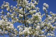 Фото 15 Ягода ирга: все секреты посадки, ухода и размножения «винной ягоды»