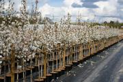 Фото 19 Ягода ирга: все секреты посадки, ухода и размножения «винной ягоды»