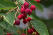 Фото 22 Ягода ирга: все секреты посадки, ухода и размножения «винной ягоды»