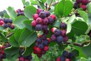 Фото 23 Ягода ирга: все секреты посадки, ухода и размножения «винной ягоды»