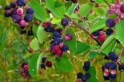 Фото 27 Ягода ирга: все секреты посадки, ухода и размножения «винной ягоды»