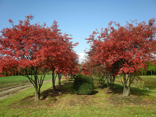 Коринка в осенний период станет отличным украшением Вашего сада