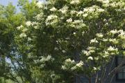 Фото 32 Ягода ирга: все секреты посадки, ухода и размножения «винной ягоды»