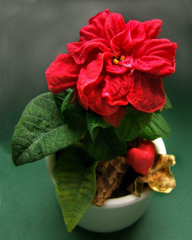 Молочай красивейший или пуансеттия (Euphorbia pulcherrima)