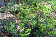 Фото 1 Молочай: разнообразие сортов и особенности ухода за растением
