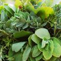Молочай: разнообразие сортов и особенности ухода за растением фото