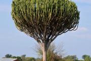 Фото 6 Молочай: разнообразие сортов и особенности ухода за растением