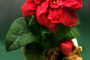 Фото 12 Комнатный и садовый молочай (60+ фото видов с названиями): посадка и уход за растением