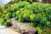 Фото 14 Комнатный и садовый молочай (60+ фото видов с названиями): посадка и уход за растением