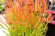 Фото 19 Молочай: разнообразие сортов и особенности ухода за растением