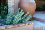 Фото 22 Комнатный и садовый молочай (60+ фото видов с названиями): посадка и уход за растением