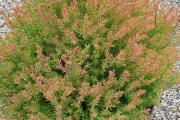 Фото 16 Шаровидные туи: разнообразие сортов, посадка и особенности выращивания