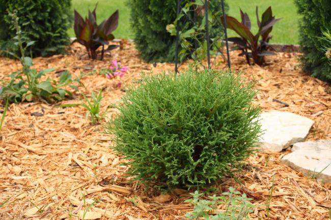 Шаровидную тую часто используют как дополнение к дизайну сада или клумбы
