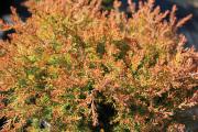 Фото 21 Шаровидные туи: разнообразие сортов, посадка и особенности выращивания