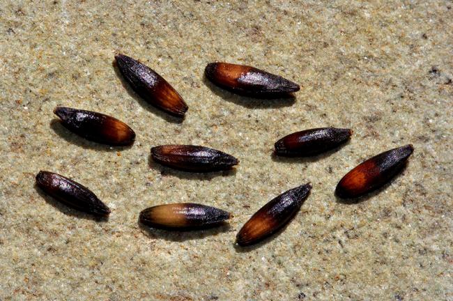 Семена по размеру и форме походят на рисовые зерна