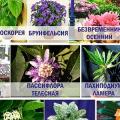 Ядовитые комнатные растения: самые распространенные виды и как их распознать? фото