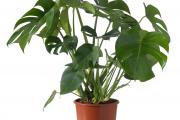 Фото 8 Ядовитые комнатные растения (фото и названия): 10 самых опасных растений, которые не стоит держать дома!