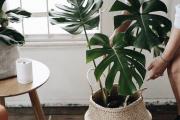 Фото 9 Ядовитые комнатные растения (фото и названия): 10 самых опасных растений, которые не стоит держать дома!