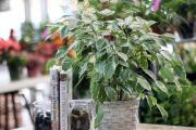 Фото 13 Ядовитые комнатные растения (фото и названия): 10 самых опасных растений, которые не стоит держать дома!