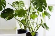 Фото 14 Ядовитые комнатные растения (фото и названия): 10 самых опасных растений, которые не стоит держать дома!