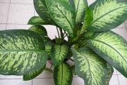 Фото 18 Ядовитые комнатные растения (фото и названия): 10 самых опасных растений, которые не стоит держать дома!
