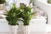 Фото 25 Ядовитые комнатные растения (фото и названия): 10 самых опасных растений, которые не стоит держать дома!