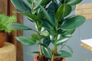 Фото 3 Ядовитые комнатные растения (фото и названия): 10 самых опасных растений, которые не стоит держать дома!