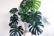 Фото 4 Ядовитые комнатные растения (фото и названия): 10 самых опасных растений, которые не стоит держать дома!
