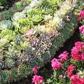 Каменная роза (молодило): все секреты посадки, уход в домашних условиях и создание альпинариев в саду фото