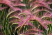 Фото 11 Декоративные травы и злаки для сада (60+ фото с названиями): полезные советы садоводов и ландшафтных дизайнеров