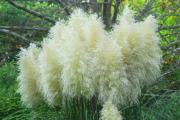 Фото 6 Декоративные травы и злаки для сада (60+ фото с названиями): полезные советы садоводов и ландшафтных дизайнеров