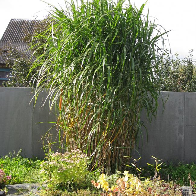 Высокий мискантус рекомендуется садить у изгороди, дабы не закрывать солнце цветам