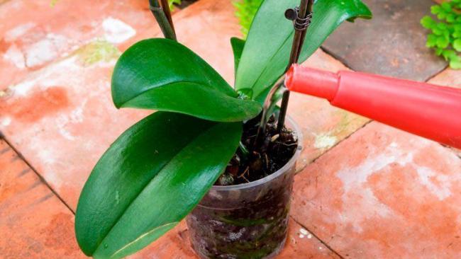 Светлые корни на поверхности горшка - знак того,что растение нуждается в поливе