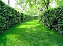 Быстрорастущая живая изгородь �� Растения и кустарники (60 фото)