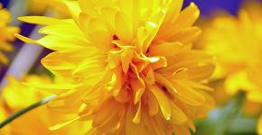 Рудбекия — «золотой шар» в вашем саду (50+ фото видов): советы по посадке и уходу от опытных садоводов фото
