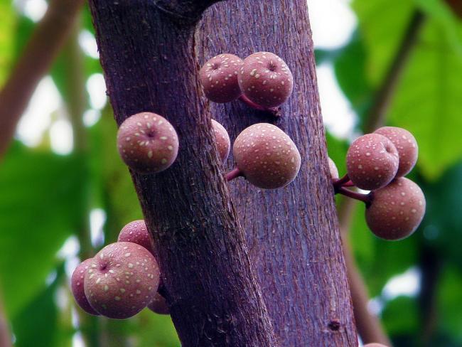 Плоды фикуса фото из ботанического сада. В домашних условиях цветение у фикусов не наступает
