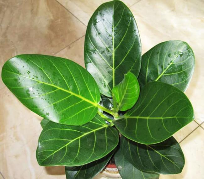 Этот вид фикуса ценится за большие бархатистые листья