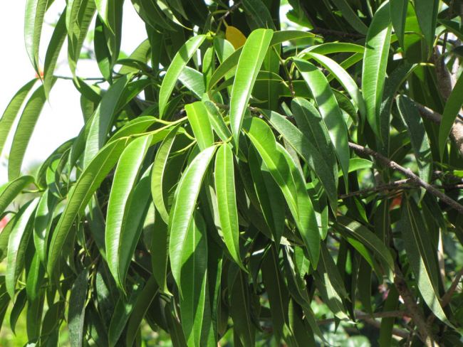 За узкие заостренные листья фикус Али называют также ивовидным