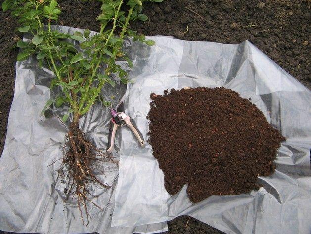 Если вы собрались пополнить розарий новыми сортами, то разгар осенних работ — самое время