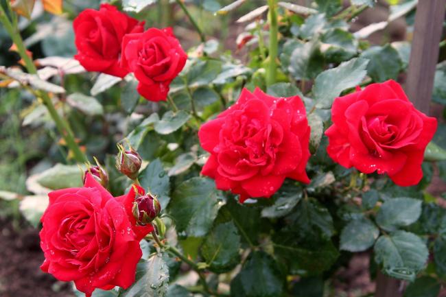 Осень — ответственная пора для любителей роз
