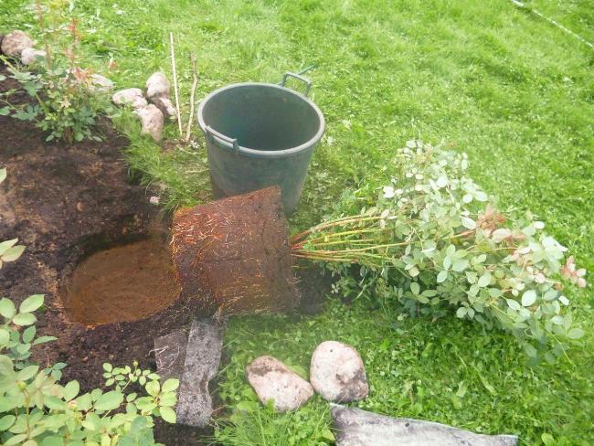 Размер посадочной ямы зависит от величины корня и плодородности почвы